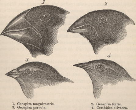 Darwins_finches_by_Gould.png2.png